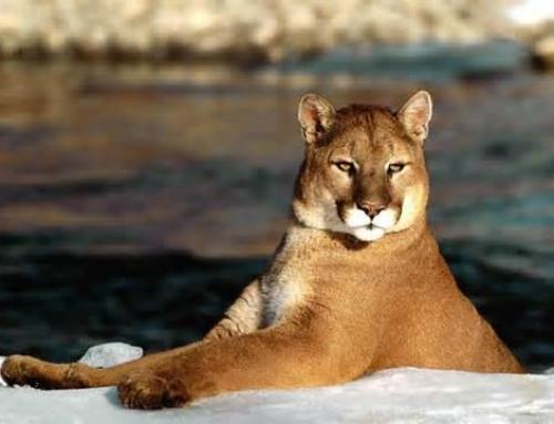 Confident Puma Posture!